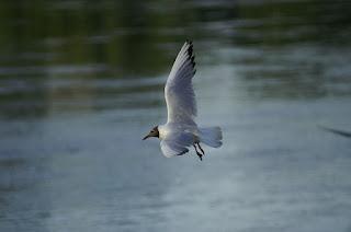 水面近くを飛ぶ鳥
