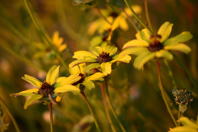 berlandiera lyrata, chocolate flower, southwest plants, desert garden, arizona garden, small sunny garden, amy myers, photography