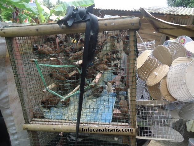 Peluang Bisnis Ternak Burung Bondol Peking
