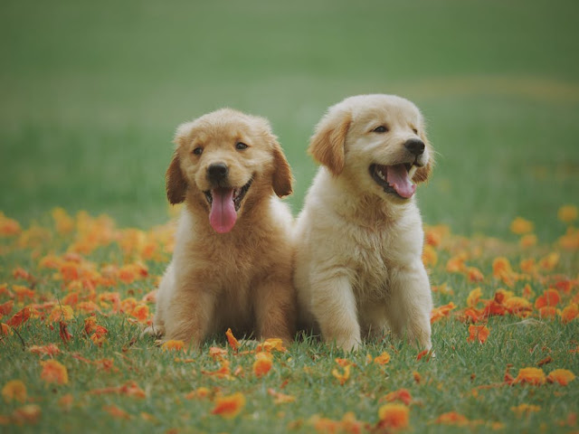 Caring And Feeding Tips For Golden Retriever Puppies.