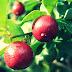 Manfaat Jeruk Kingkit Untuk Kesehatan Dan Cara Mengolahnya