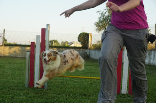 Fire, my Australian Shepherd in agility