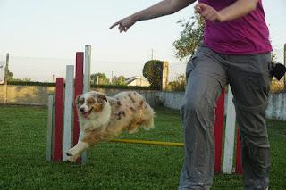 Fire, my Australian Shepherd in agility