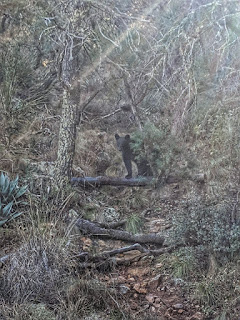 Black Bear on Emory Peak Trail