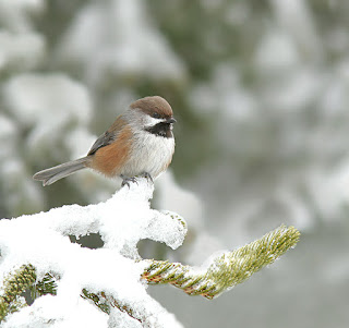 Winter birding in newfoundland, Boreal Chickadee