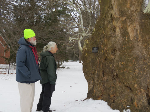 people looking at a sycamore tree