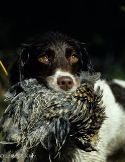 Brittany posing with ruffed grouse