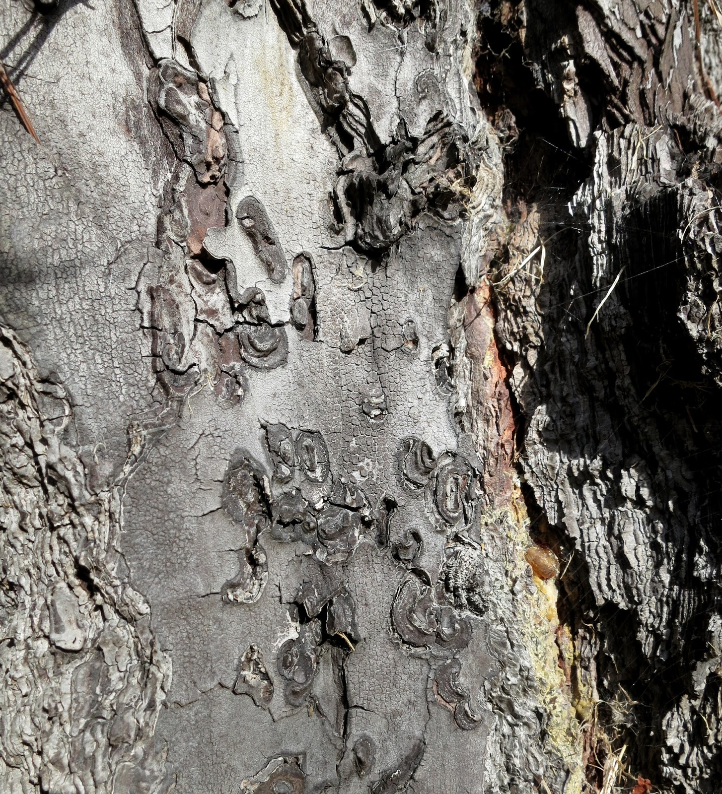 Swirly shapes in trunk where bark has flaked away, leaving it bare