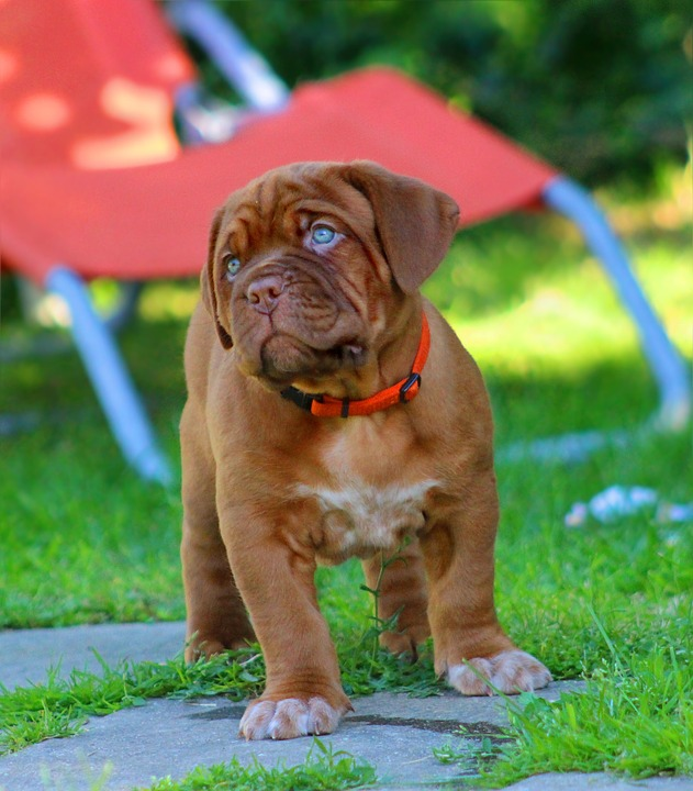 Everything About Your Dogue De Bordeaux