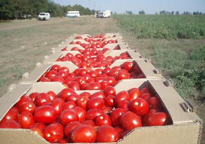 Волгоградские помидоры Оптом