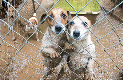 Puppy mills are monitored by health inspectors, and the USDA tracks abuses and other problems. (ASPCA)