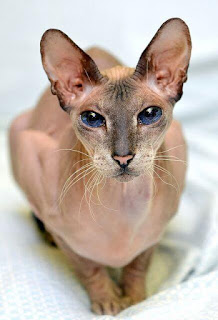gambar kucing Peter bald