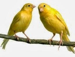 Ciri Ciri Tanda Tanda Burung Kenari Sudah Jodoh Siap Kawin Dan Bertelur Hobi Si Petani