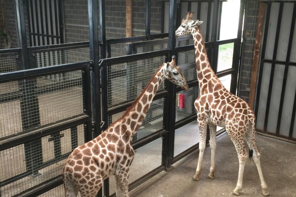 Giraffe Feeding at Chessington