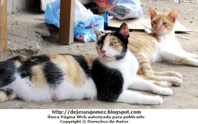 Foto de gatos (hembra preñada y macho). Foto de gatos de Jesus Gómez