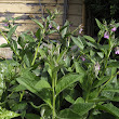 Using Russian Comfrey for Compost Tea