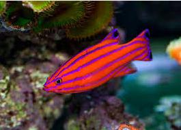 ikan hias termahal candy basslet