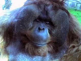 Orangutan at Seattle Zoo