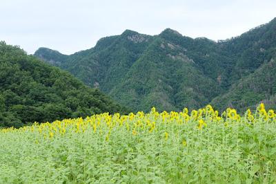 工芸と喫茶ひとつ石の裏のひまわり畑 向日葵と生坂の山々