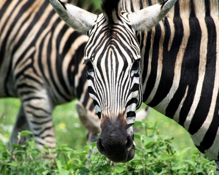 Different zebra species have different types of stripes, from narrow to wide.