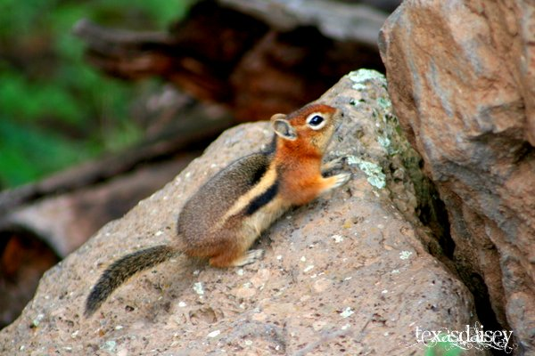 Closeup of Chipmunk on rock sideview