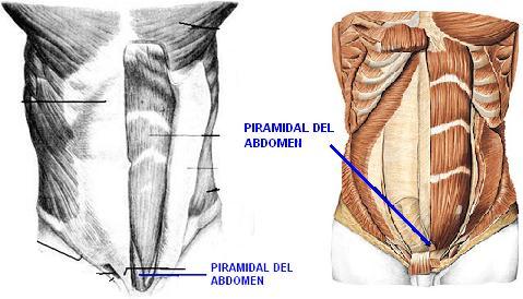 Musculos del abdomen | Sistema muscular