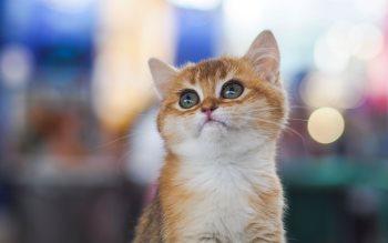 Wallpaper: Lovely Kitten