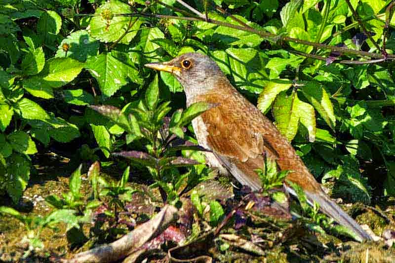 bird, Pale Thrush