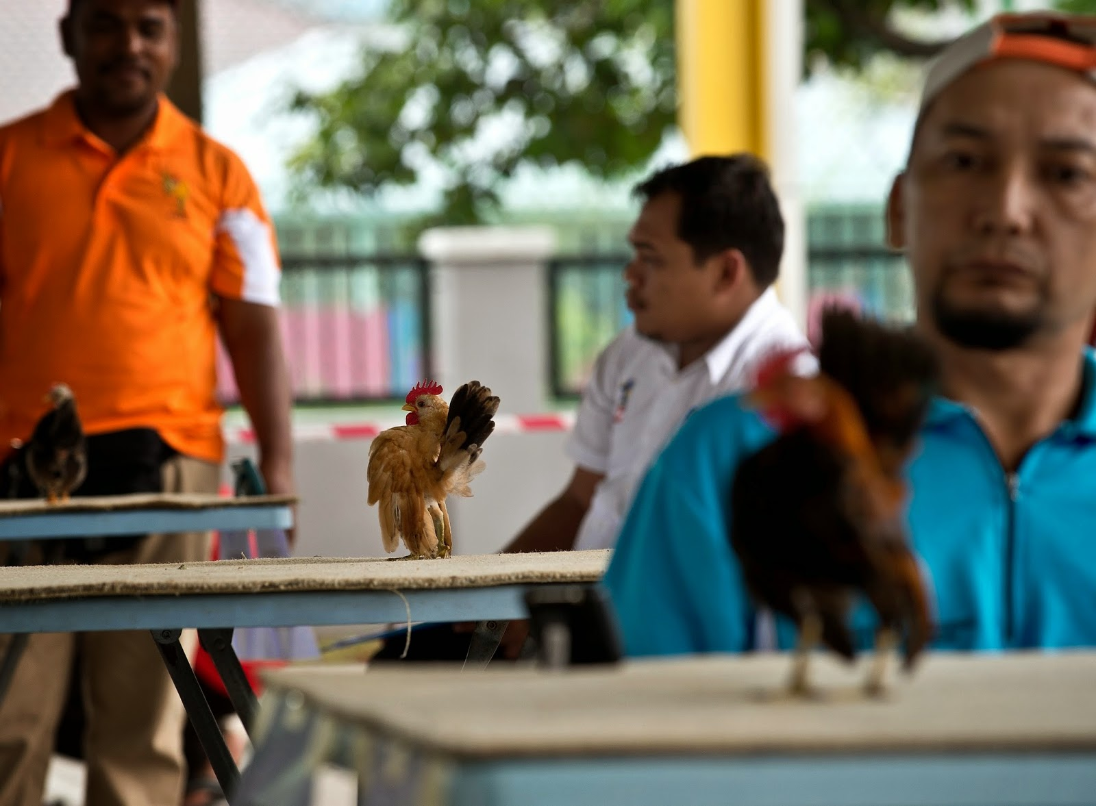 Animals, Animals Competitions, Beauty Contest, Beauty Pageant, Chicken Beauty Pageant, Kuala Lumpur, Lifestyle, Malaysia, Offbeat, Poultry, Serama Chicken, Serama Chicken Beauty Contest, Seramas,