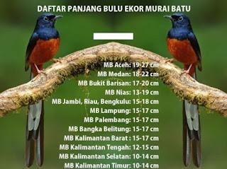 Foto Burung Murai Batu Update Harga Anakan Jantan Terbaru