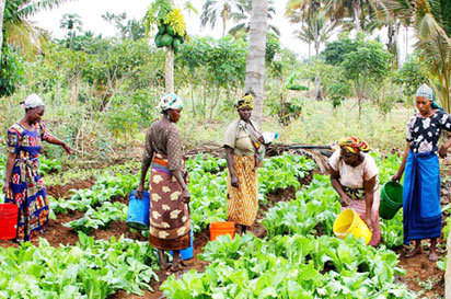 Vegetable farmers at work