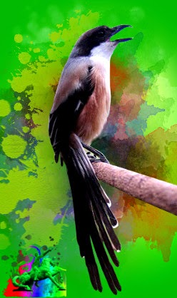 Download Mp3 Suara Burung Cendet Pentet