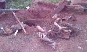 decapitated and headless bodies buried in a shallow grave by an 80 year old man