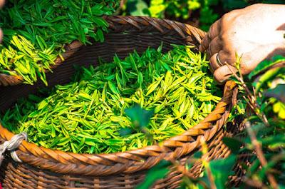 cara menghilangkan bau kaki ampuh dengan teh hijau