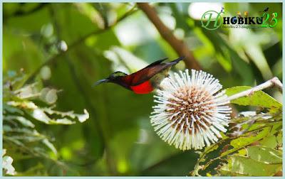 kali ini kami akan membahas salah satu burung mungil yang satu ini Makanan Terbaik Burung Kolibri