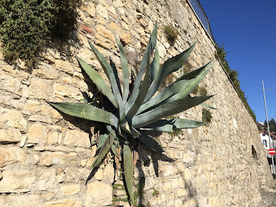 Agave grows on a wall near the top of the Scaletta delle More