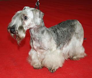 Cesky Terrier-pets-dog breeds