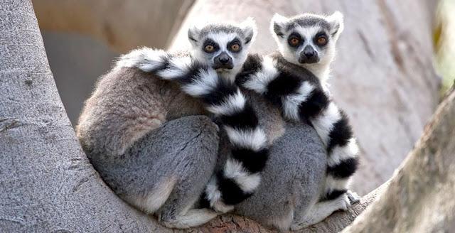 30 Fakta Menarik Tentang Lemur