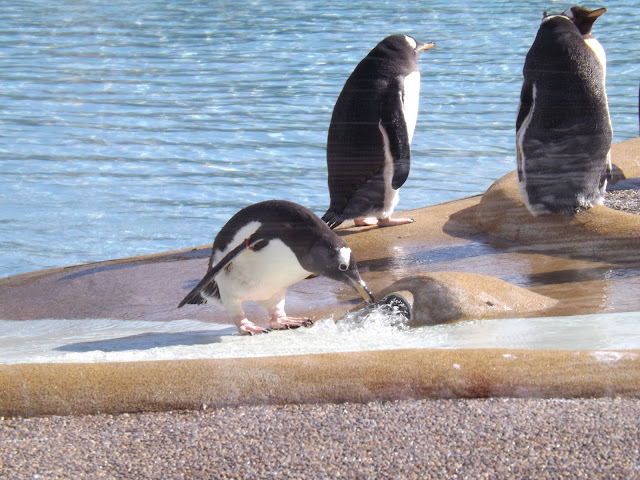 A penguin playing with water