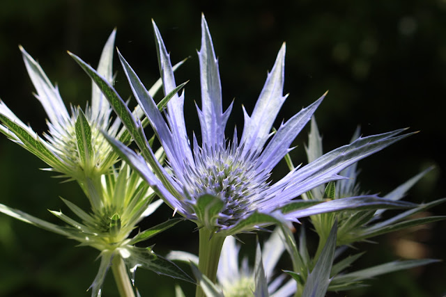 Repeating shapes of Eryngium flowers