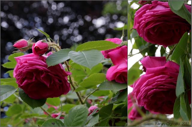 róża stulistna