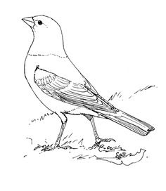 Printable Starling Coloring Sheet For Kids