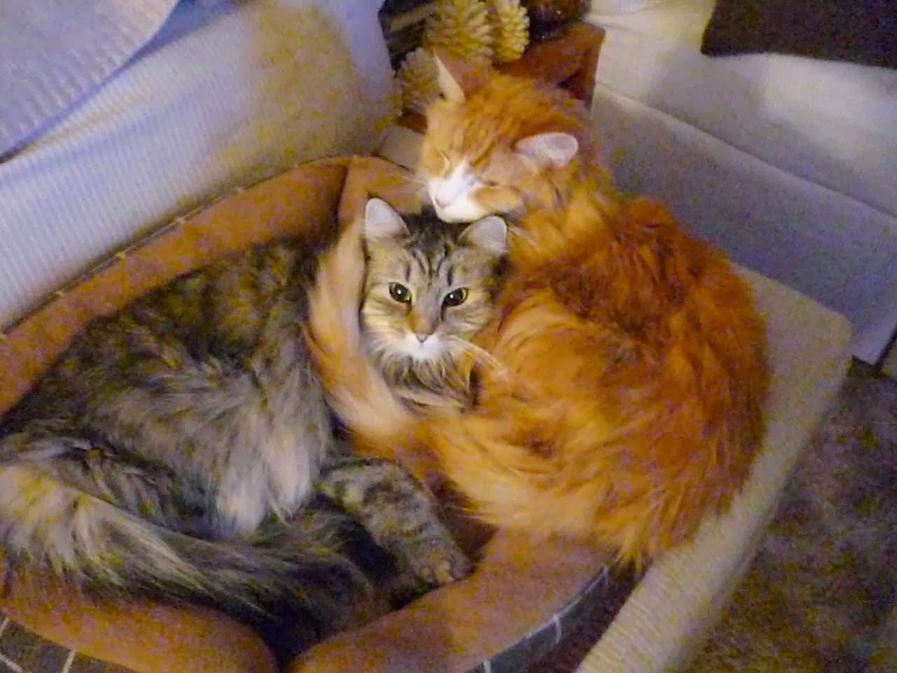 Funny cats - part 93 (40 pics + 10 gifs), two fluffy cats cuddling