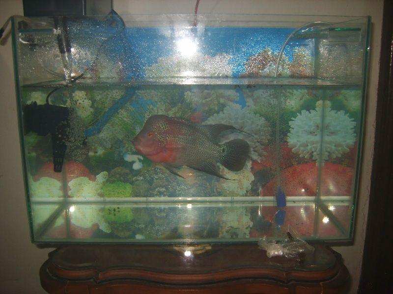 Cara Merawat Ikan Louhan