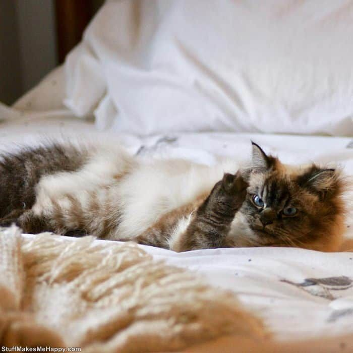 Charismatic Ragdoll Cat Merlin Pictures