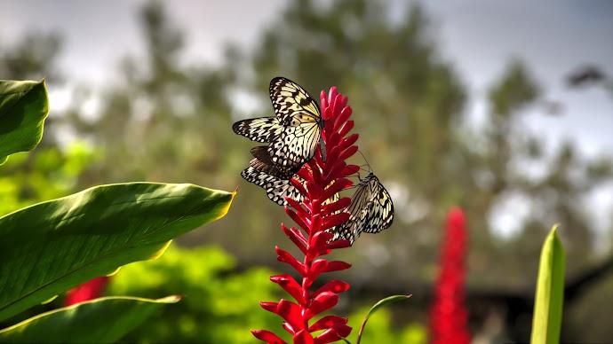 Wallpaper: Insects. Flowers. Butterflies