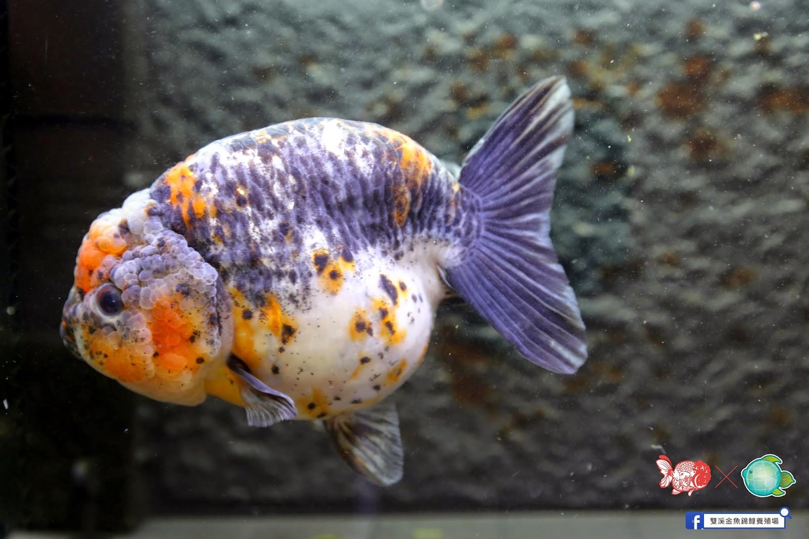 雙溪金魚錦鯉養殖場Shuangxi Goldfish & Koi farm:進出口蘭壽,琉金,獅頭,蝶尾: 倒數2天:麒麟蘭壽