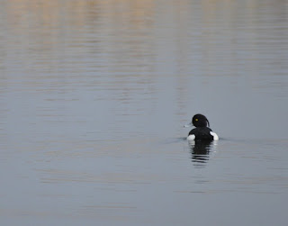 Tufted duck at Godmanchester Nature Reserve, Cambridgeshire
