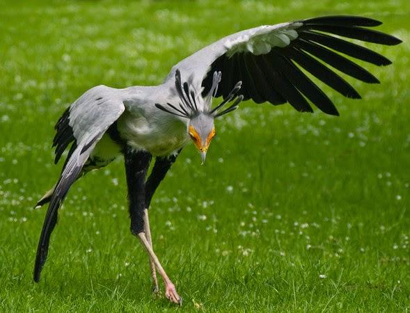 Resultado de imagem para secretário- ave