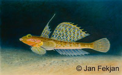Bilde av digigrafiet 'Flekket fløyfisk'. Digitalt trykk laget på bakgrunn av et maleri av en fisk. Illustrasjon av flekket fløyfisk, Callionymus maculatus. Hovedmotivet er en fargerik fisk med store ryggfinner, mot en bakgrunn av mørkt blått hav. Svake lysstråler kommer ovenfra. Bildet er i breddeformat.